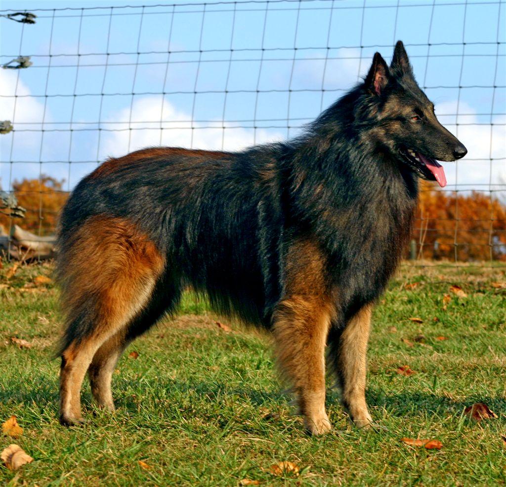 belgian shepherd tervuren breed guide learn about the