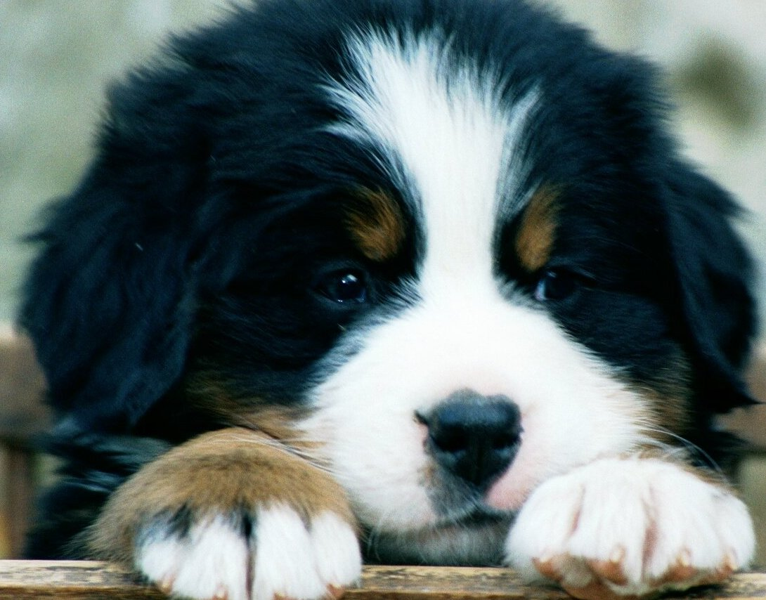 bernese mountain dog breed guide learn about the bernese mountain dog. Black Bedroom Furniture Sets. Home Design Ideas
