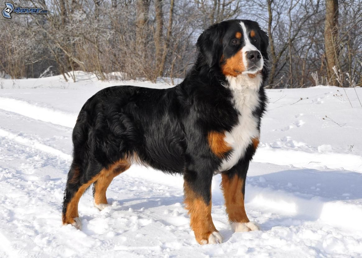 Pictures Of Bernese Dogs