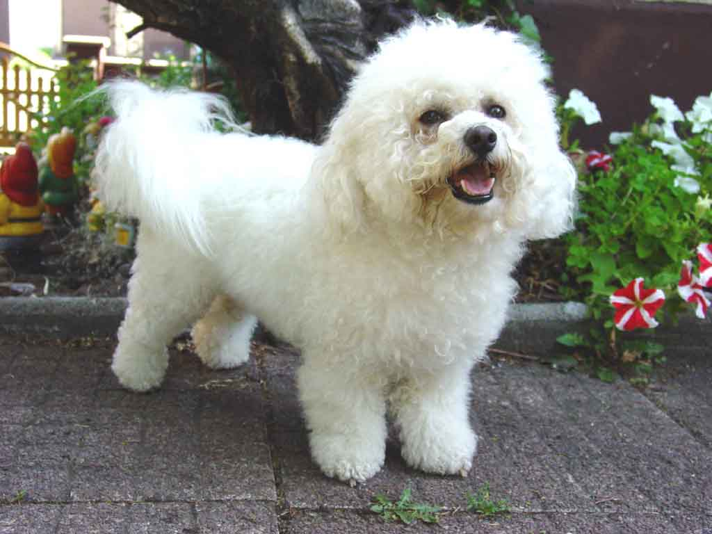 Bichon Frise Breed Guide - Learn about the Bichon Frise.
