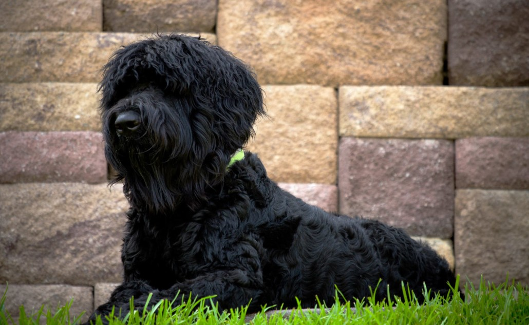 Black Russian Terrier Breed Guide Learn About The Black