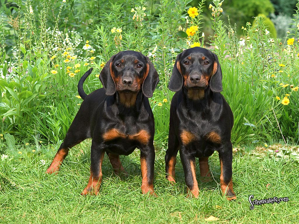 Black and Tan Coonhound Breed Guide - Learn about the ... - photo#9