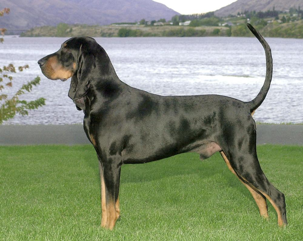 Black and Tan Coonhound Breed Guide - Learn about the ... - photo#2