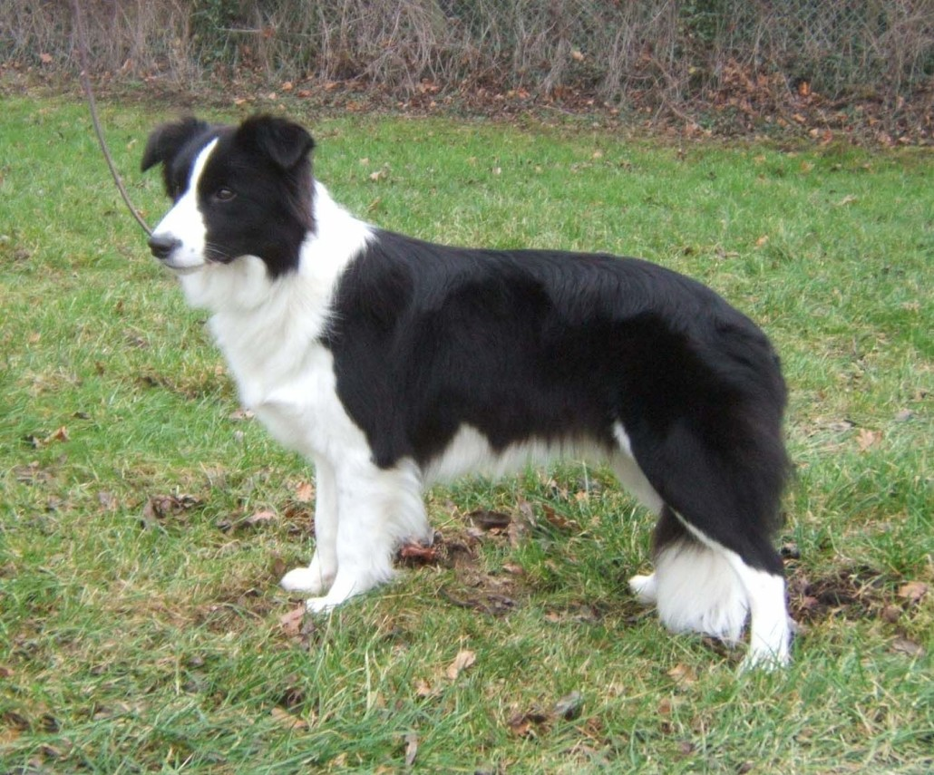 Border collie breed guide learn about the border collie border collie picture gallery border collie pups border collie pups nvjuhfo Choice Image