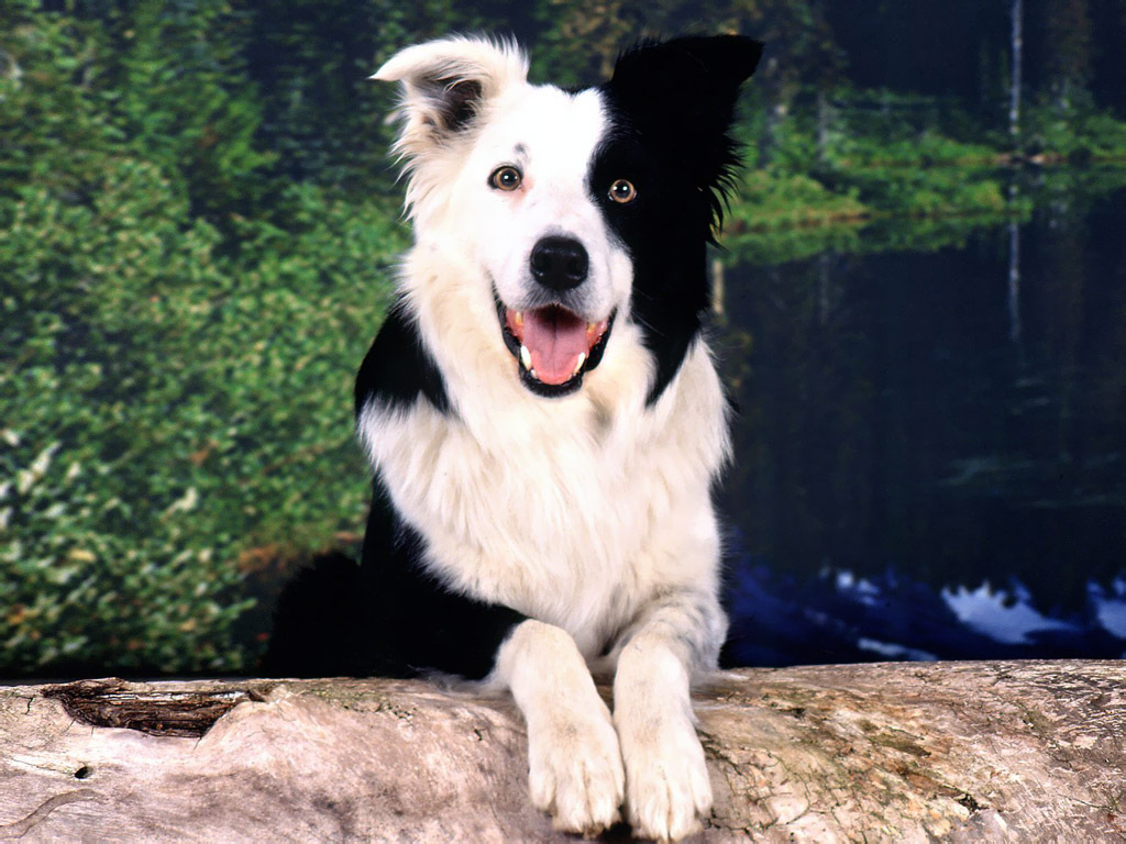 border collie breed guide