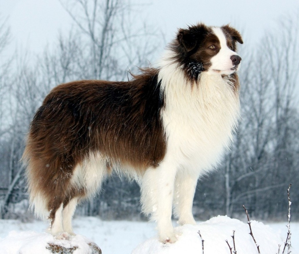Learn About The Border Collie
