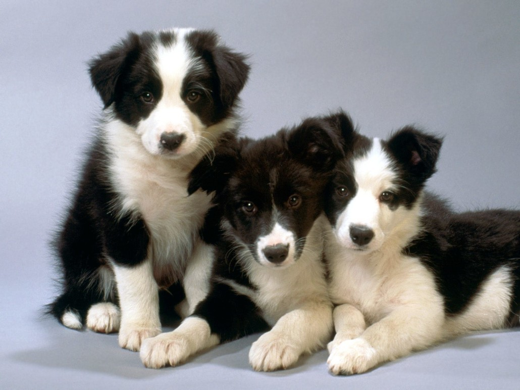 Border collie breed guide learn about the border collie border collie picture gallery nvjuhfo Choice Image