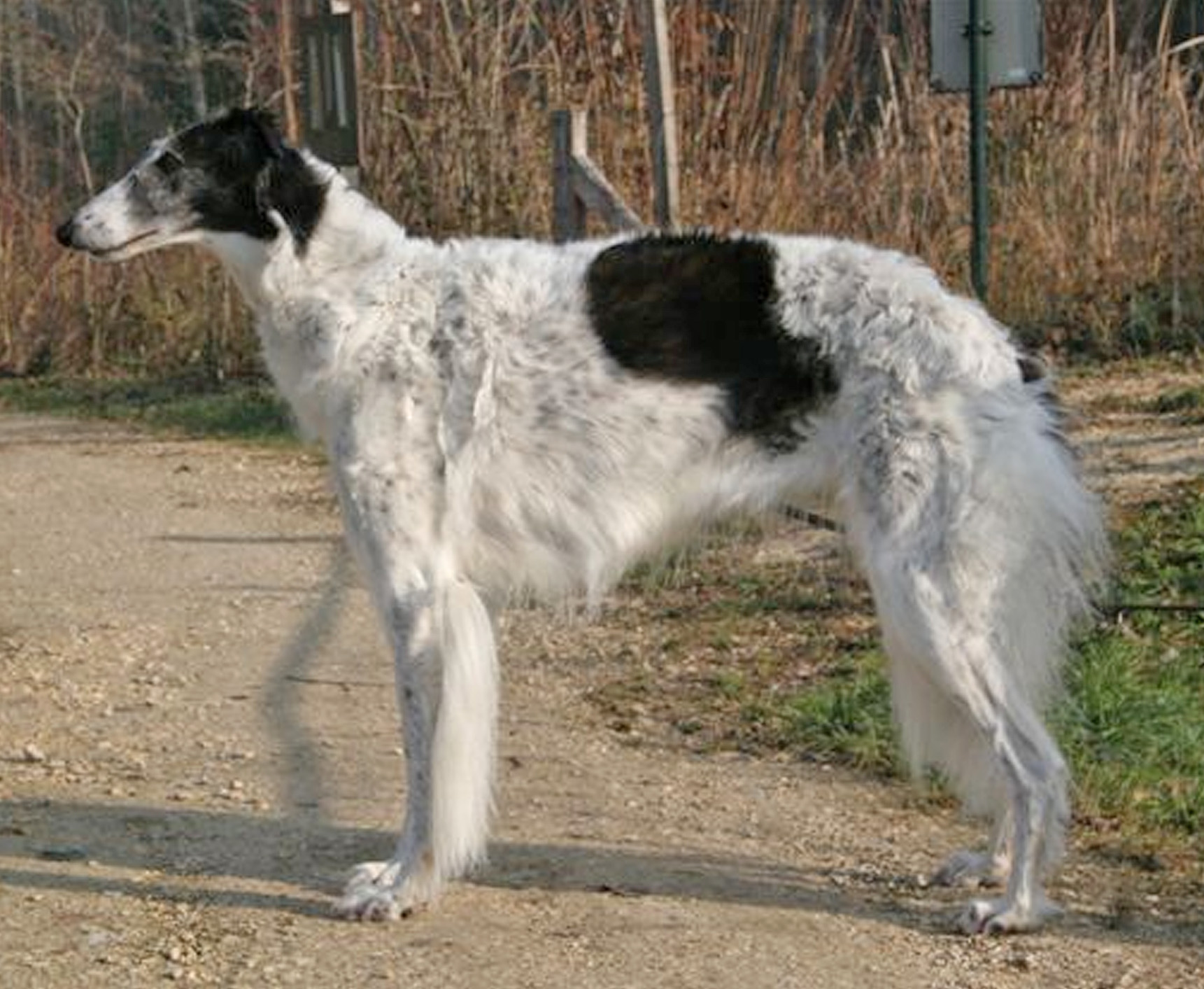 Borzoi Breed Guide Learn About The Borzoi
