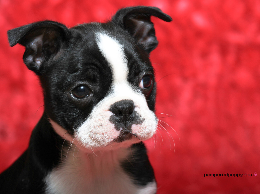 Boston Terrier Breed Guide - Learn about the Boston Terrier.