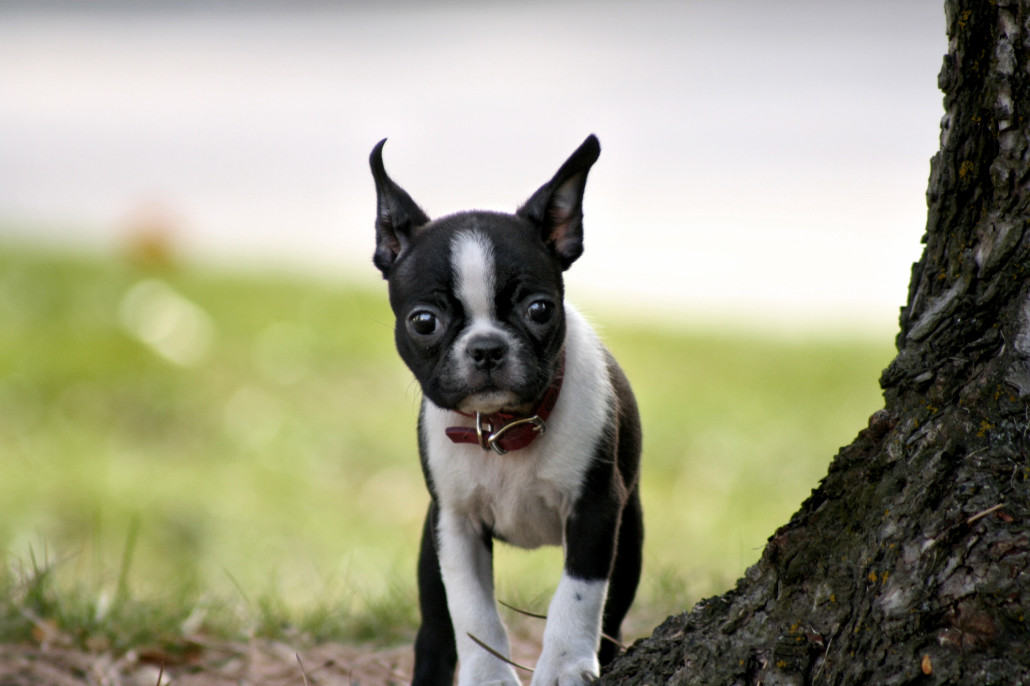 Image Result For Pictures Of Boston Terriers Wallpaper