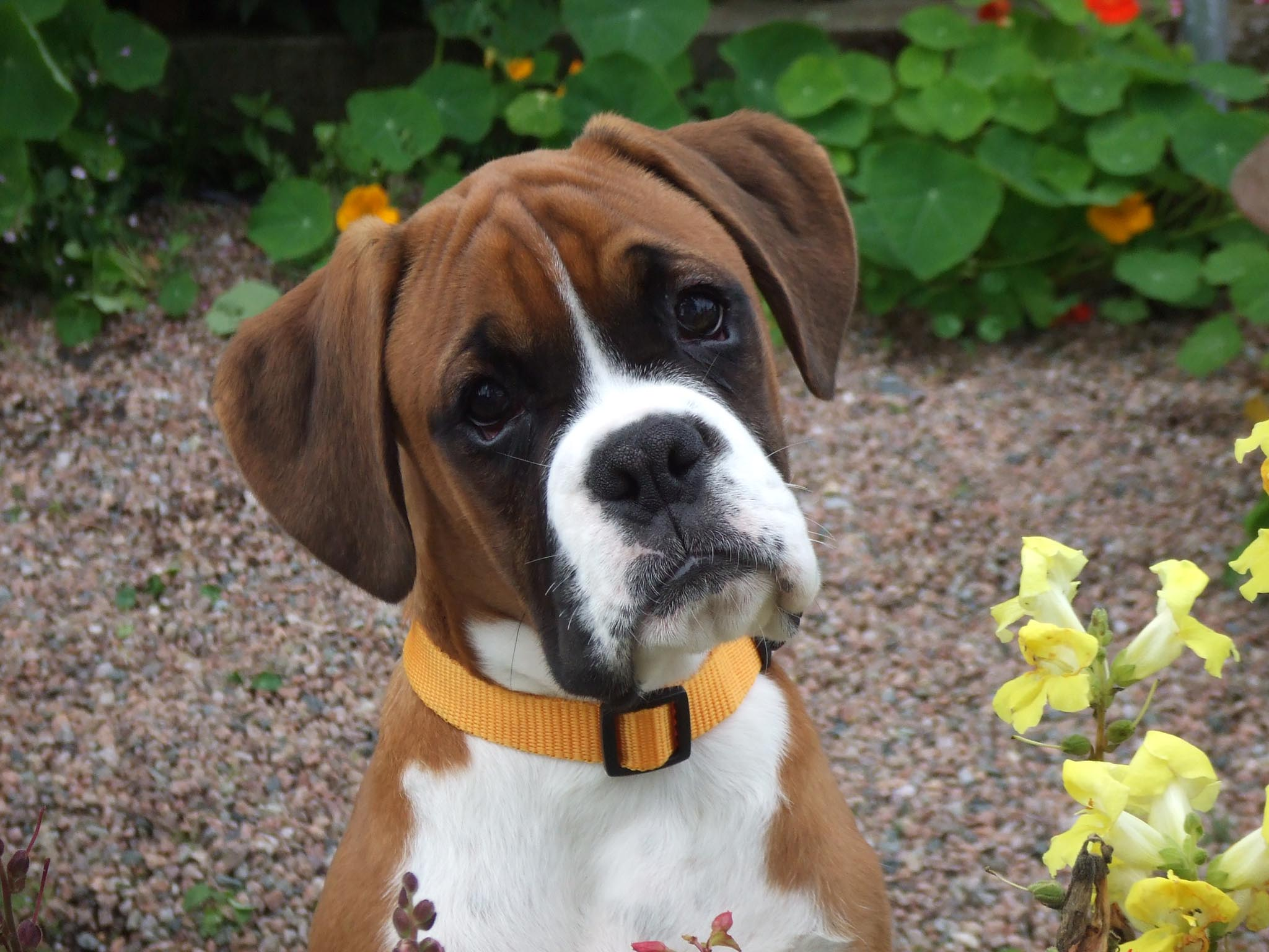 Boxer Puppies Boxer Puppies Boxer Puppies Boxer Puppies Boxer Puppies ...