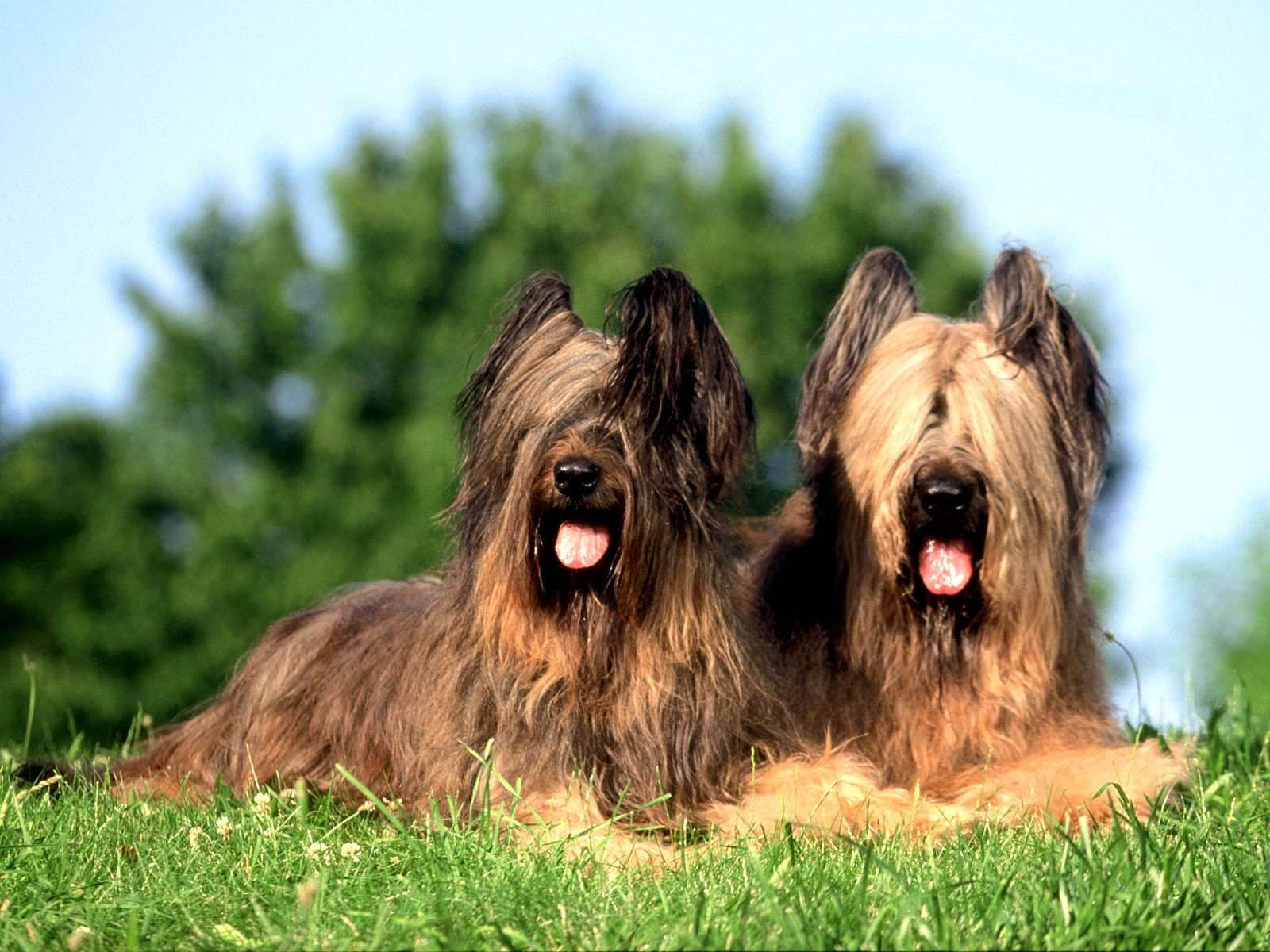Briard Breed Guide - Learn about the Briard.