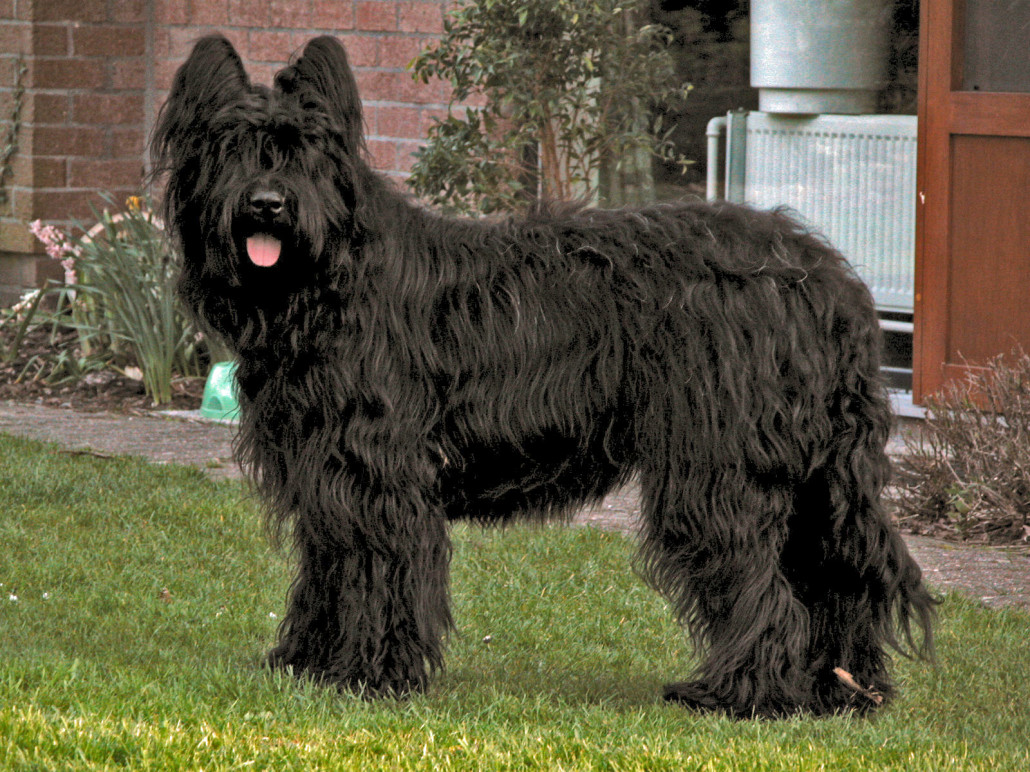 Briard Breed Guide Learn About The Briard