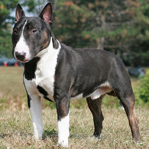 Bull Terrier Miniature Breed Guide - Learn about the Bull Terrier ...