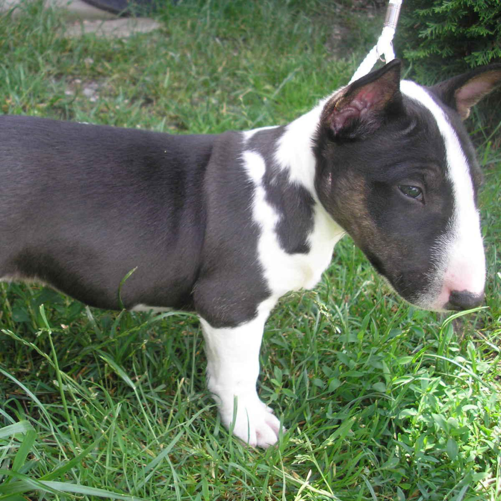 Bull Terrier Miniature Breed Guide Learn About The Bull