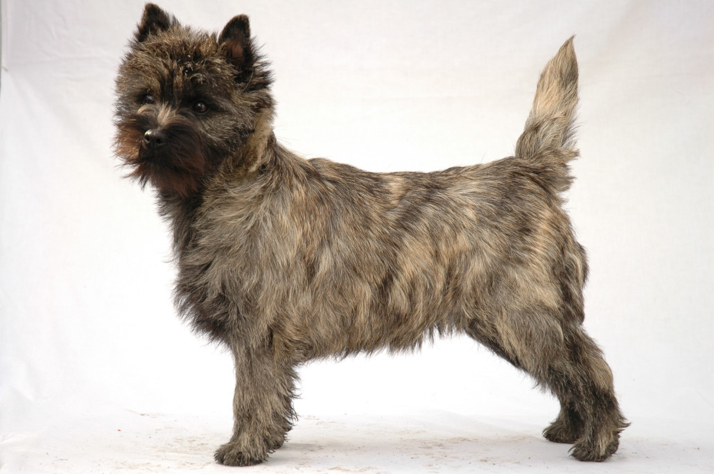 Simple Cairn Terrier Ball Adorable Dog - Cairn-Terrier-2-1030x684  Pic_662776  .jpg