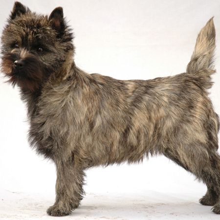 Cairn Terrier Breed Guide Learn About The Cairn Terrier