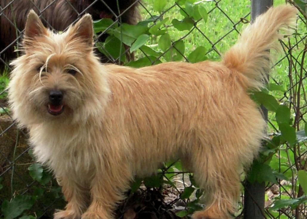 Top Cairn Terrier Ball Adorable Dog - Cairn-Terrier-3-1030x735  Snapshot_435084  .jpg