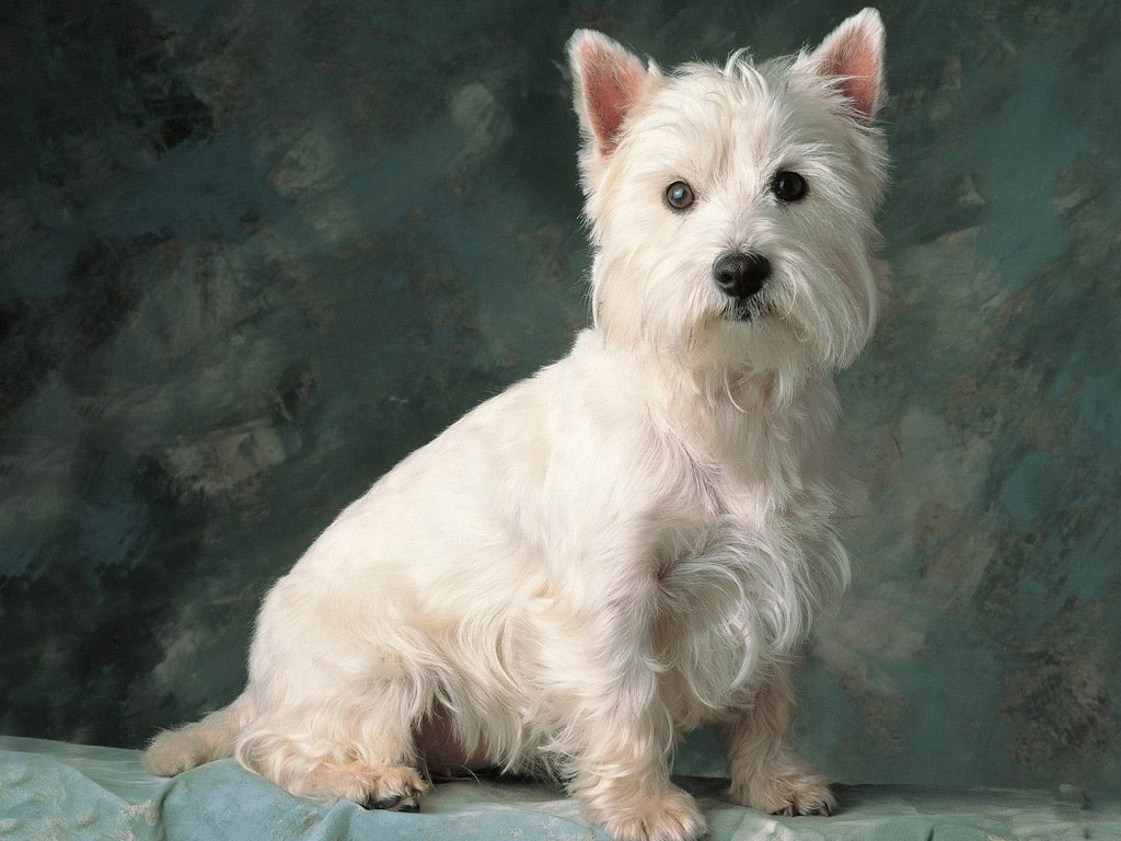 Cool Cairn Terrier Ball Adorable Dog - Cairn-Terrier-4  Best Photo Reference_4510076  .jpg