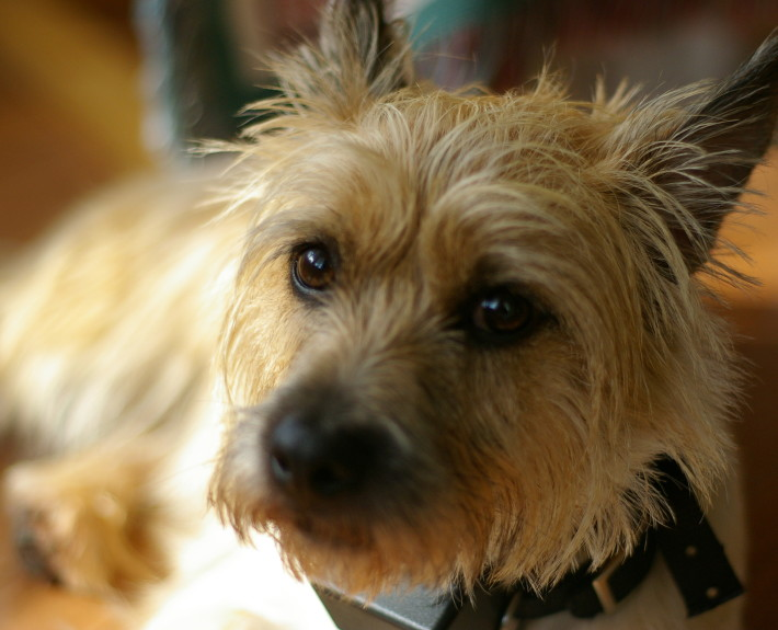 Cairn Terrier Breed Guide - Learn about the Cairn Terrier.