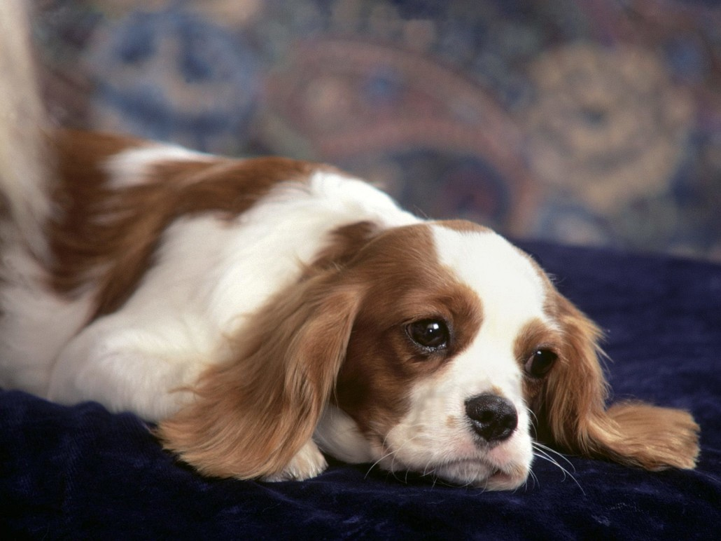 Cavalier king charles spaniel breed guide learn about the cavalier king charles spaniel picture gallery nvjuhfo Image collections