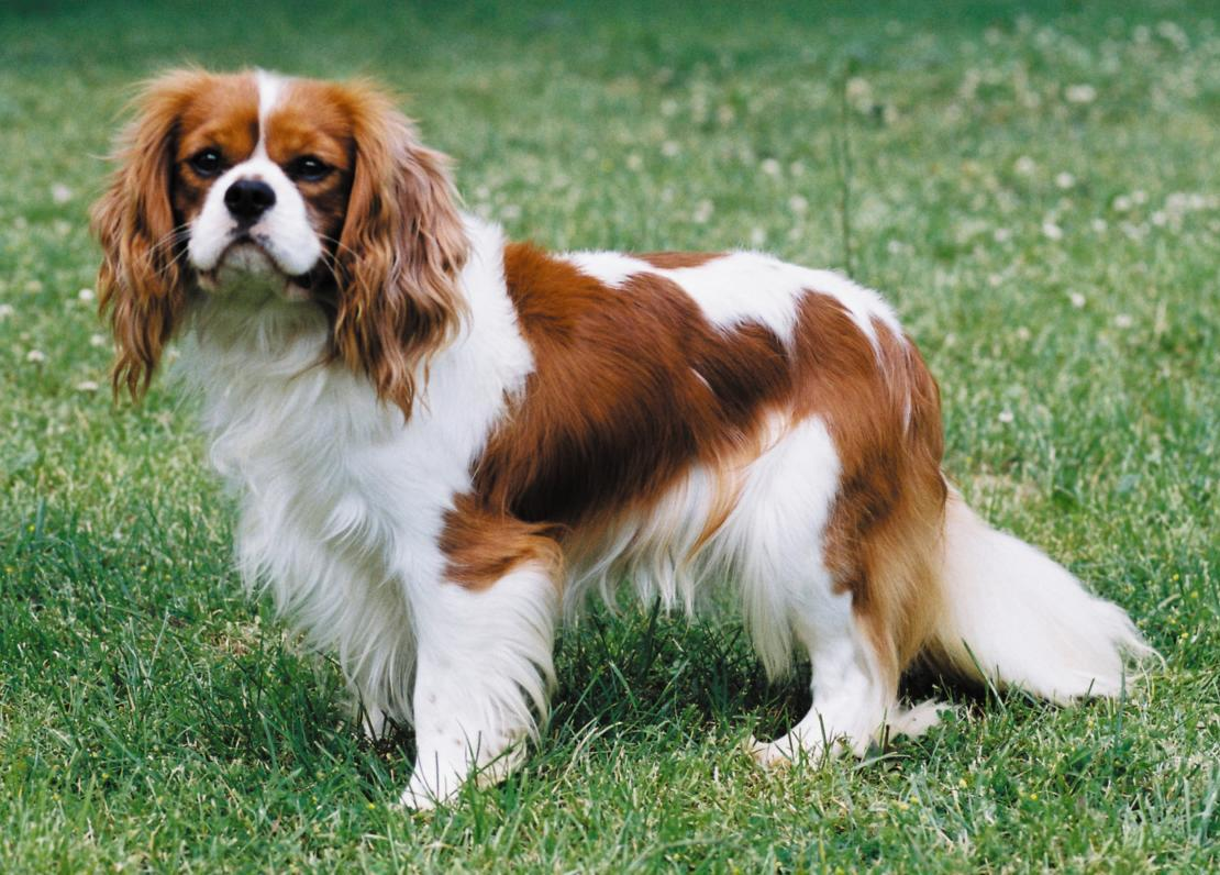 Cavalier king charles spaniel breed guide learn about the snapshot altavistaventures Images