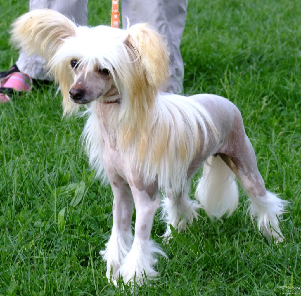 Chinese crested breed guide learn about the chinese crested for Types of dogs with photos