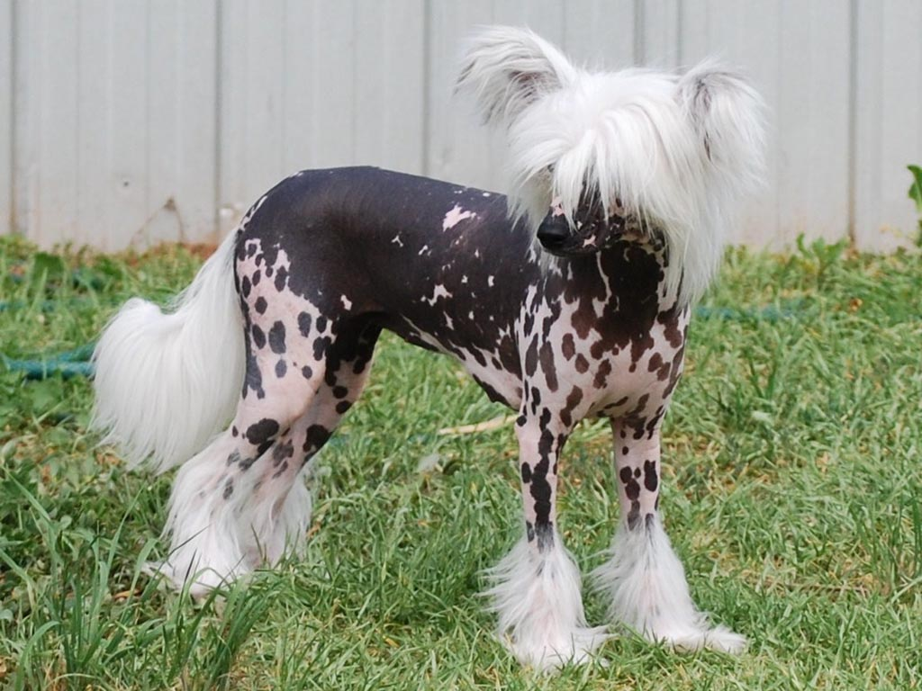 Chinese Crested Breed Guide - Learn about the Chinese Crested.