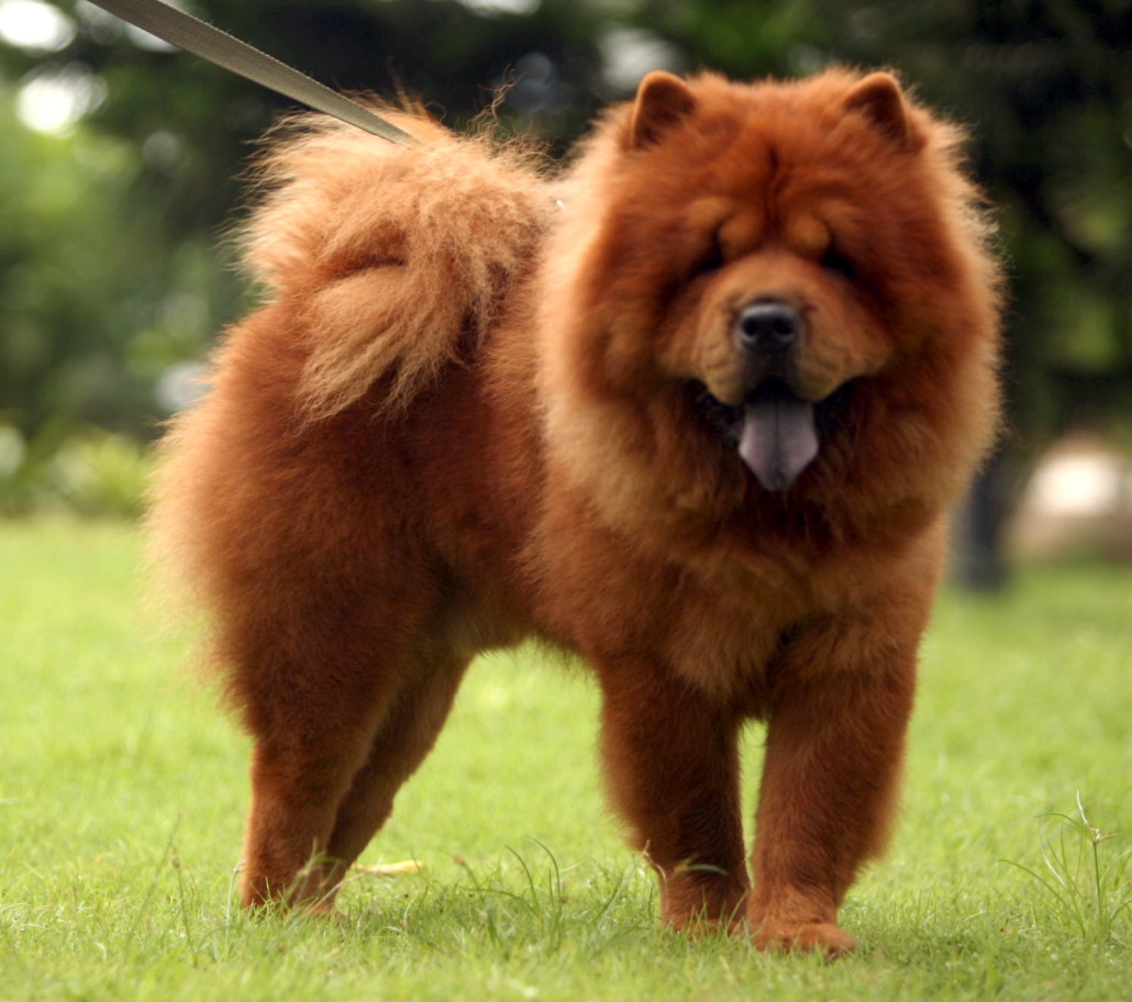 Chow Chow Breed Guide - Learn about the Chow Chow.