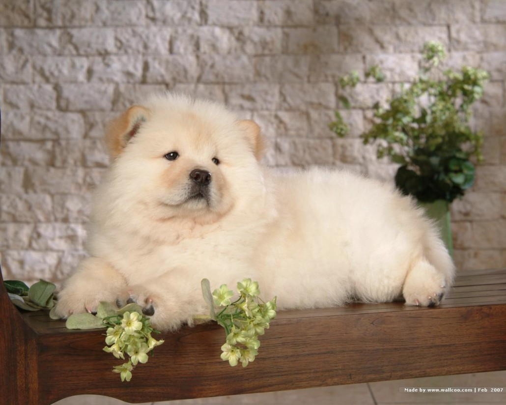 Chow chow breed guide learn about the chow chow - Images of chow chow puppies ...