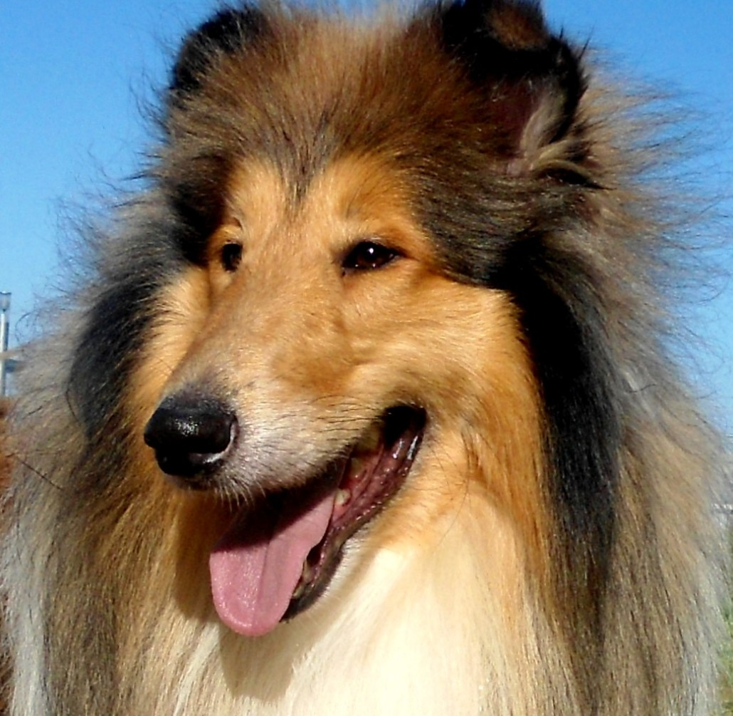 Learn About The Collie (ROUGH