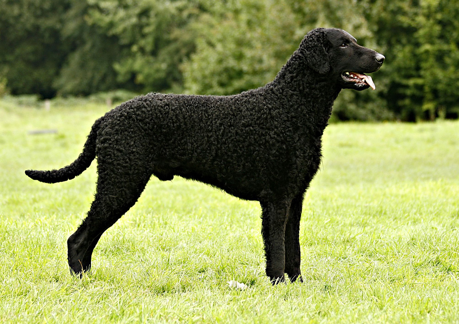 Curly Coated Retriever Breed Guide Learn About The Curly