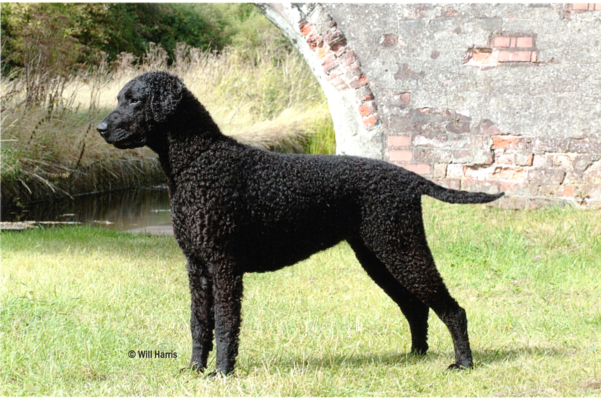 Black Curly Dog
