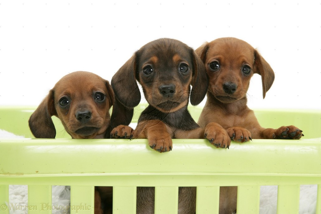 Dachshund (Miniature) Breed Guide - Learn about the ...