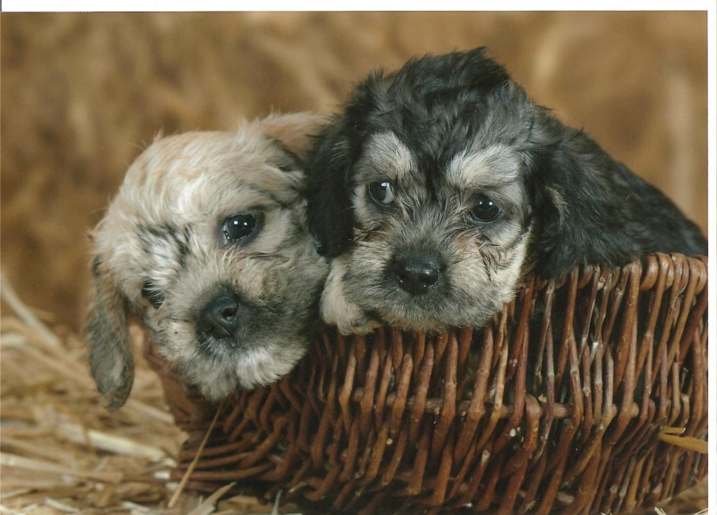 Dandie Dinmont Terrier Breed Guide Learn About The