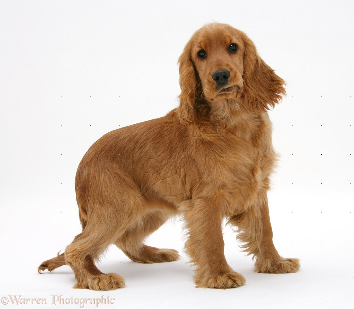 Adult english cocker spaniel 1