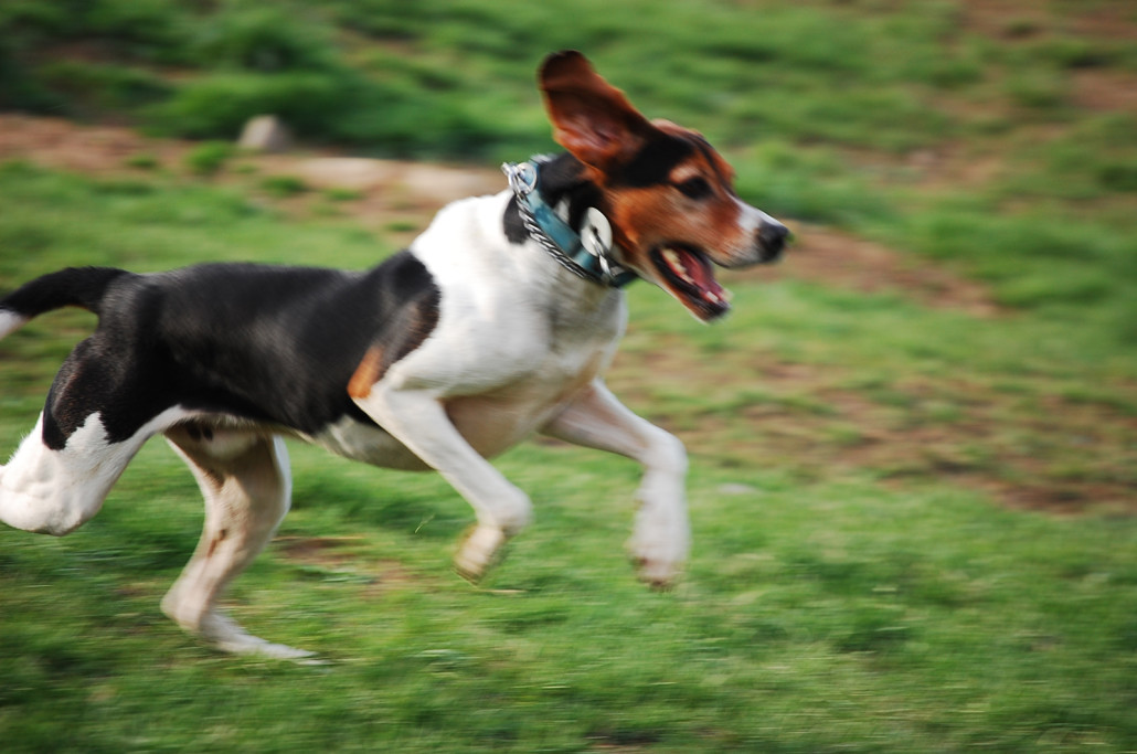 English Foxhound Breed Guide Learn About The English