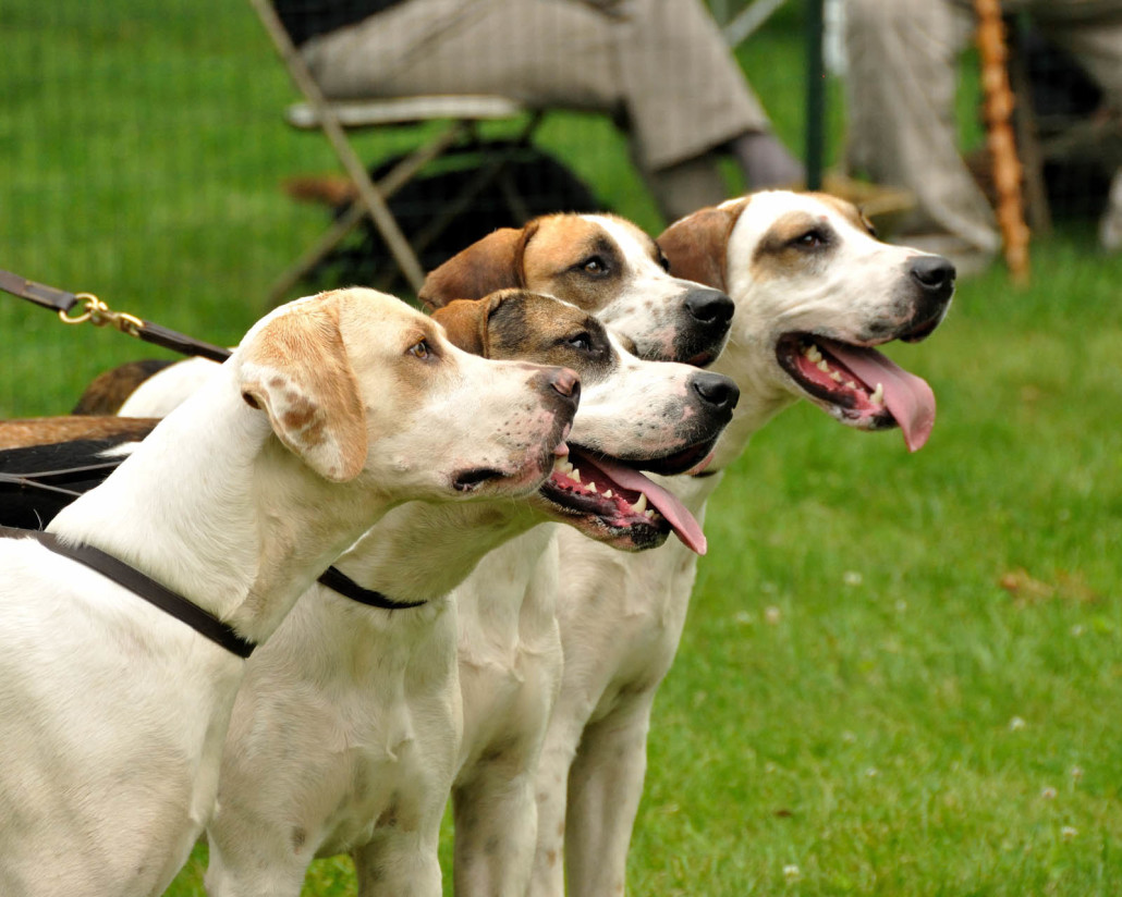 English Foxhound Breed Guide - Learn about the English ...