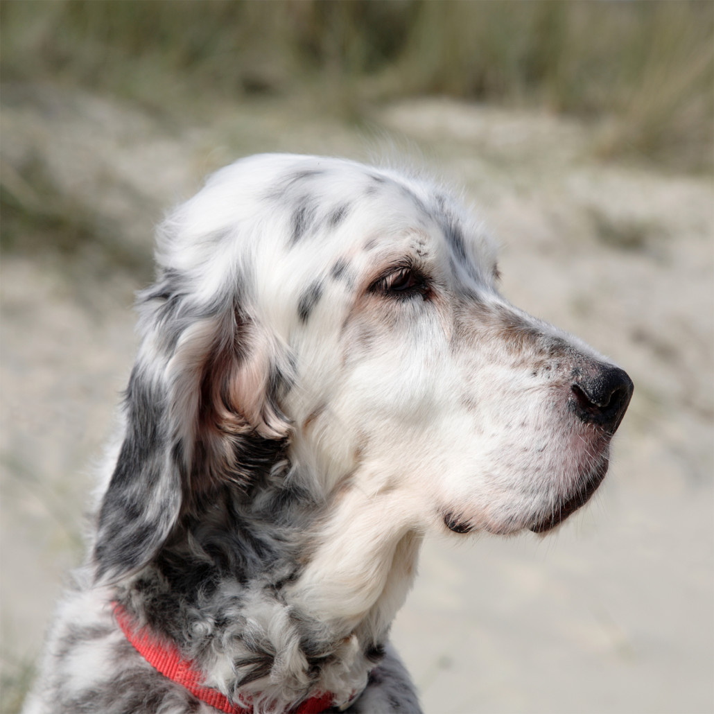English Setter Breed Guide Learn About The English Setter