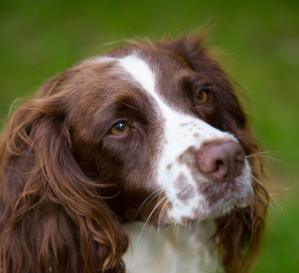 English Springer Spaniel Breed Guide Learn About The