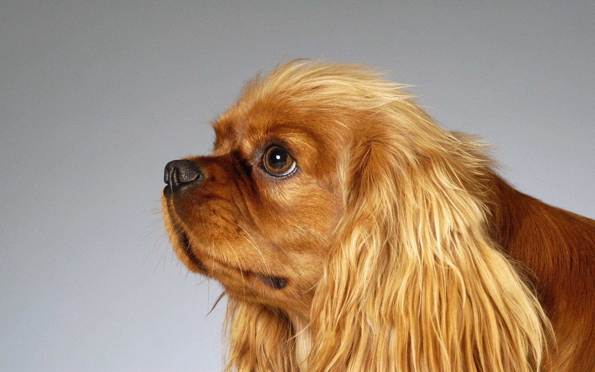 English Toy Spaniel Breed Guide Learn About The English