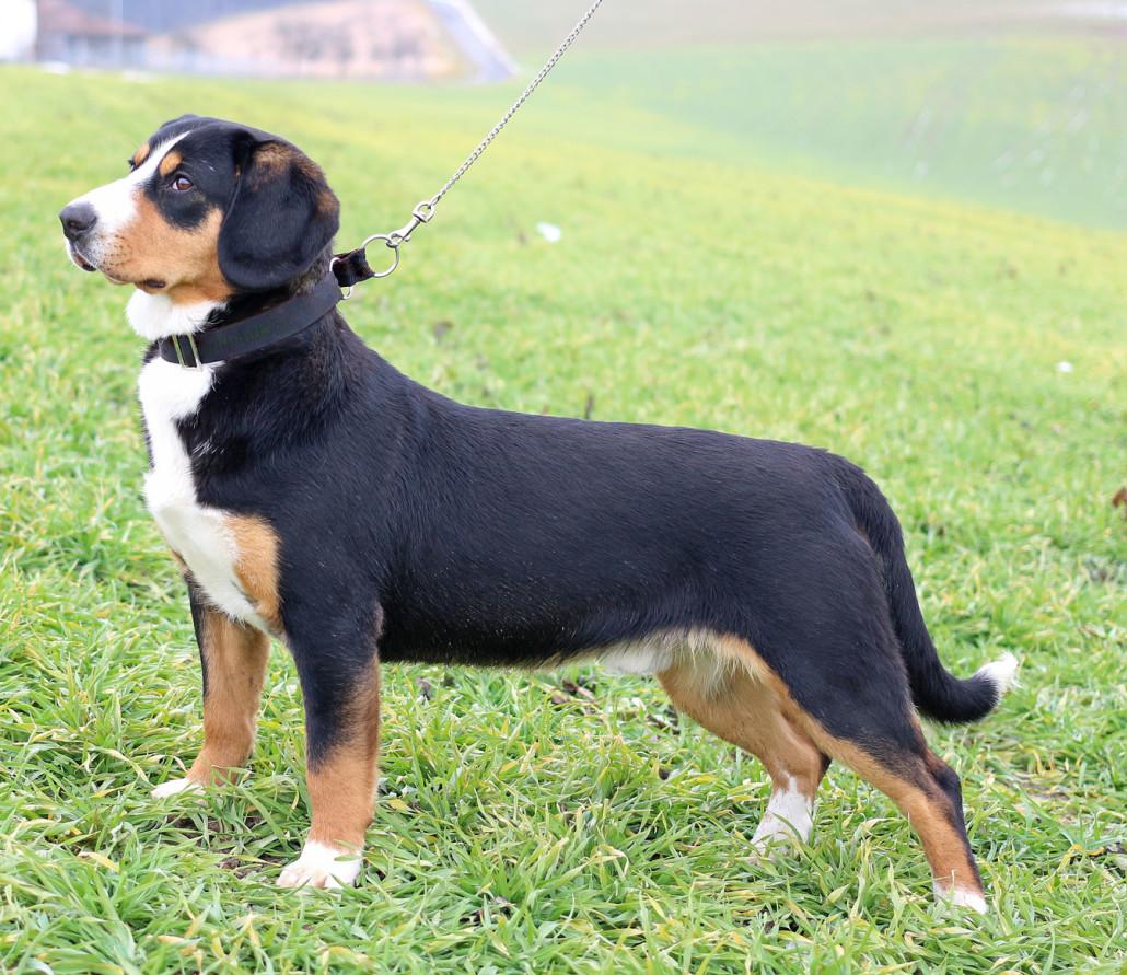 entlebucher mountain dog breed guide learn about the entlebucher mountain dog. Black Bedroom Furniture Sets. Home Design Ideas