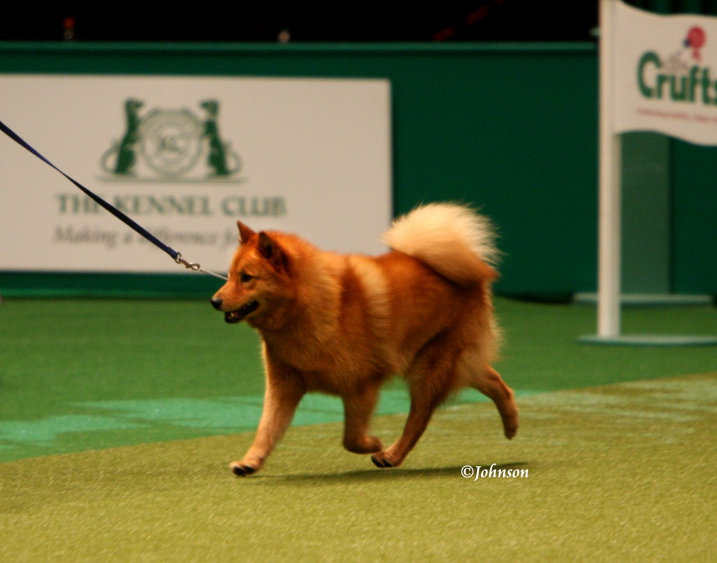 finnish spitz breed guide