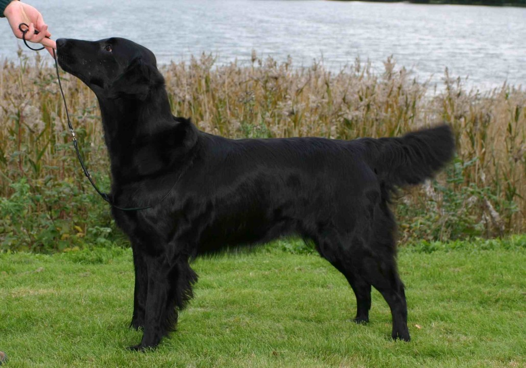 Flat Coated Retriever Breed Guide Learn About The Flat