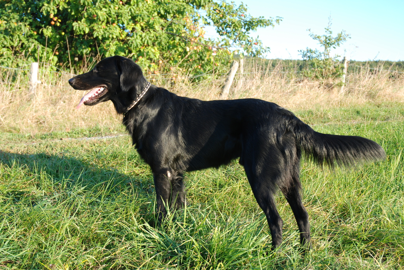 Flat-Coated Retriever Breed Guide - Learn about the Flat-Coated ...