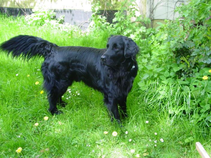 dog breeds beginning with f pet paw
