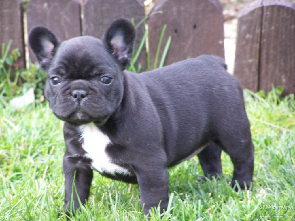 French Bulldog Breed Guide Learn About The French Bulldog
