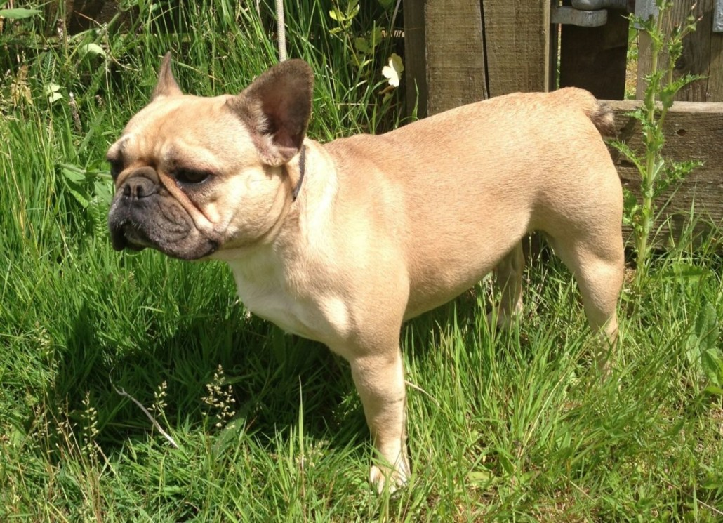 French Bulldog Breed Guide - Learn about the French Bulldog.