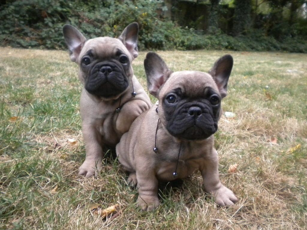 french bulldog for sale inland empire