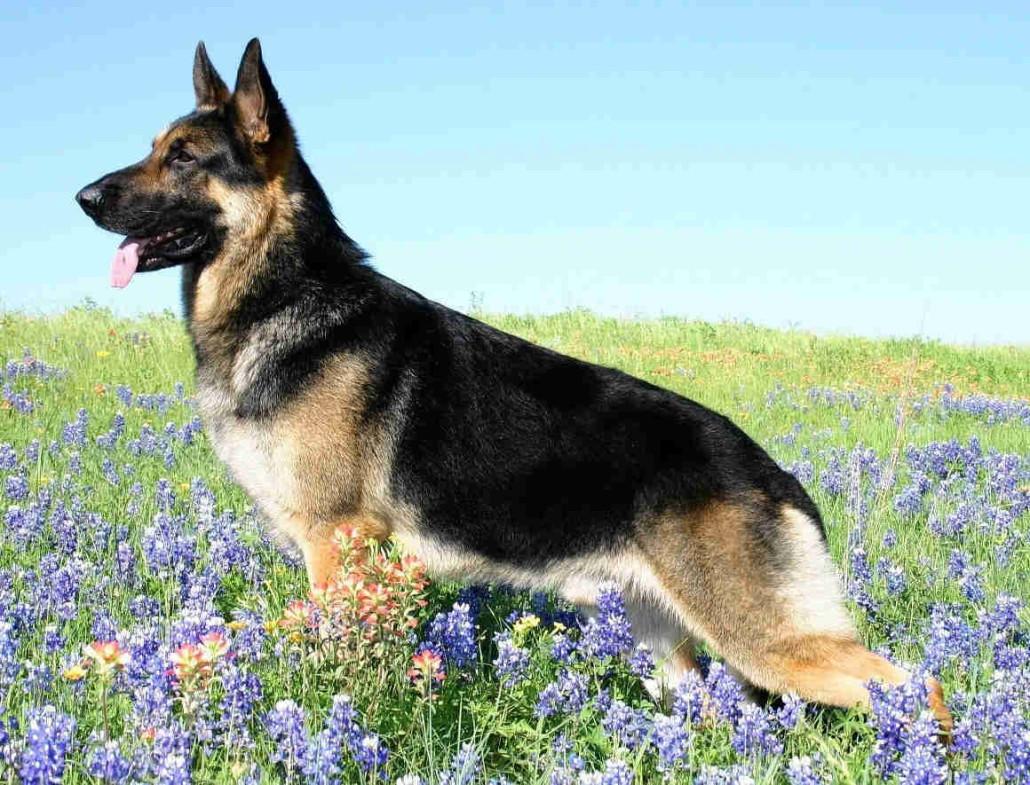 German Shepherd Breed Guide Learn About The German Shepherd